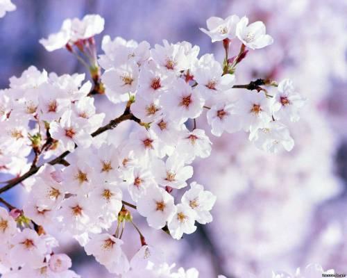 Цвети всегда, как нежная японская вишня! druzhba-navsegda.